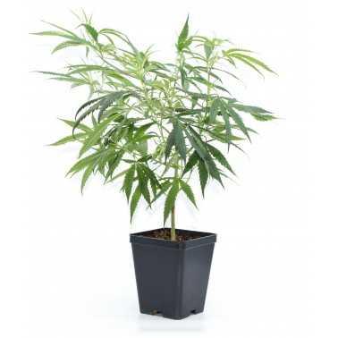 Plantes de CBD Candida